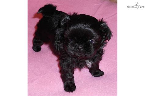 shih tzu puppies for sale in bellingham wa shih tzu puppy for sale near bellingham washington 279531ee 6c61