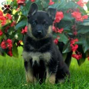 greenfield puppies german shepherd german shepherd mix puppies for sale greenfield puppies