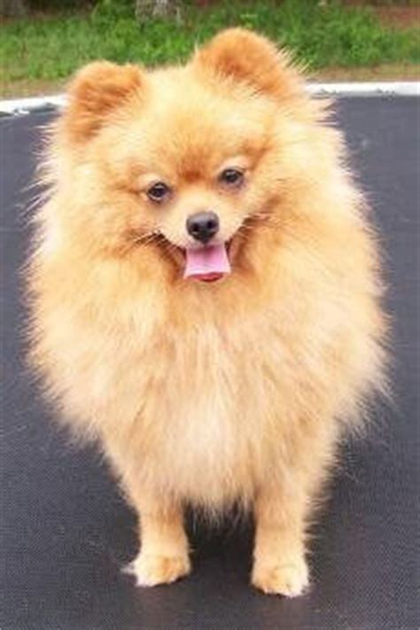 fawn pomeranian pomeranian breed 187 information pictures more