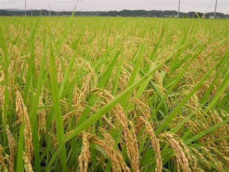 Jual Sho Cap Kuda jual benih padi unggul padindo cap mahkota kuda varietas inpari 5 kg di lapak diantama mandhez