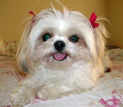 funny shih tzu cute puppies wallpaper and pictures