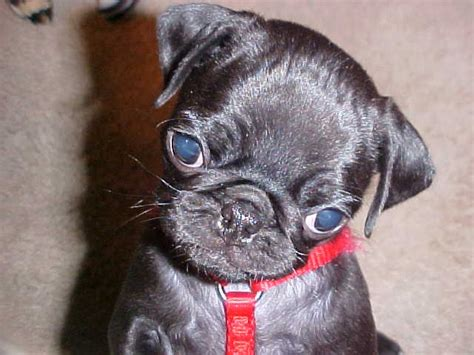 what is a of pugs called want one of these called a bugg boston terrier pug mix and