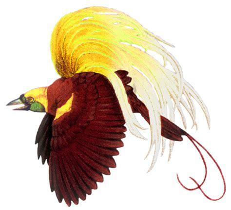 burung cenderawasih firmansyah as flickr