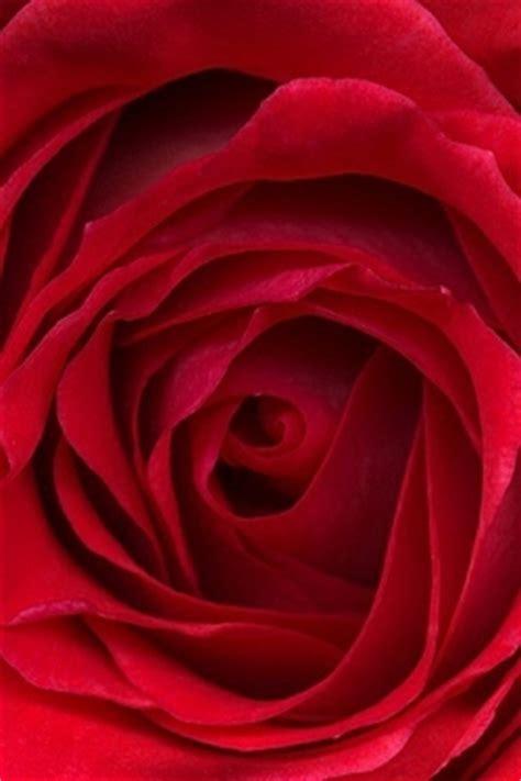 iphone wallpaper hd rose rose petals for iphone pc wallpaper sfondi desktop
