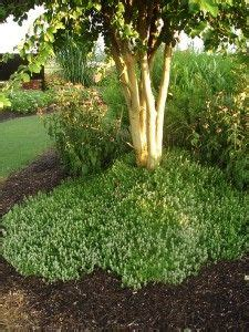 1000 images about garden mosquito repellent plants on