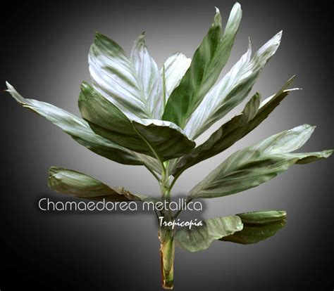 Tropicopia online - House plant picture of Palm ...