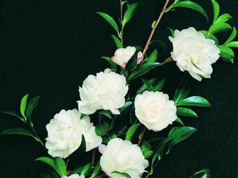 camellia sasanqua camellia camellia sasanqua paradise