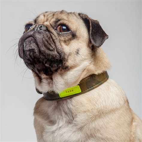 pug collars co doug the pug in the yark tillman collar walk pug collars