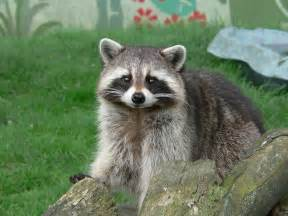 What To Do If A Raccoon Is In Your Backyard file raccoon pose jpg wikimedia commons