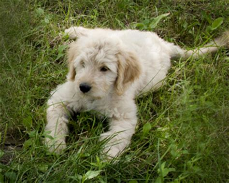 goldendoodle puppies youngstown ohio goldendoodles from western ny breeds picture