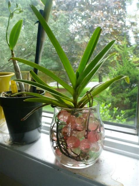 vanda orchid  water culture orchids  water water