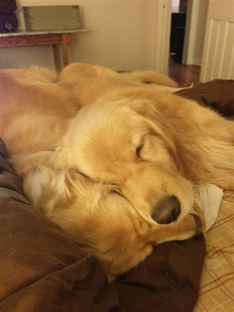 can golden retrievers be left alone a golden retriever left to die alone is rescued he s now the happiest in the