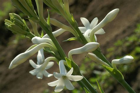 which plant is most fragrant tuberoses one of the most fragrant flowers i