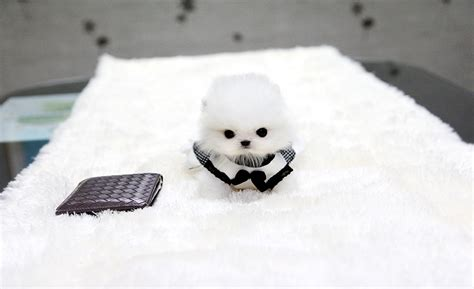 micro teacup white pomeranian teacup white pomeranian puppy hairstylegalleries