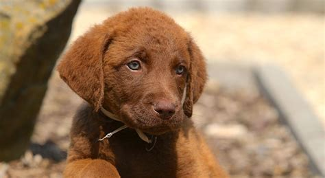 5 Things to Know About Chesapeake Bay Retrievers - Petful