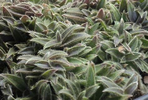 pianta grassa fiori viola orecchie di gatto pianta grassa pollicegreen