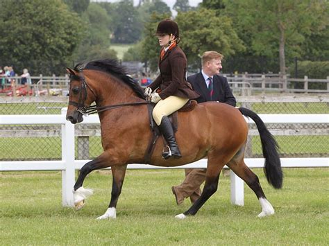 welsh section d society can i ride this pony page 2 the horse forum