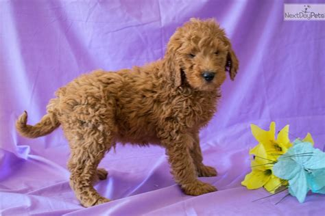 goldendoodle puppies youngstown ohio gabriel goldendoodle puppy for sale near youngstown ohio