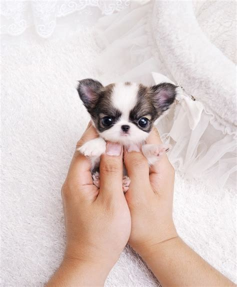 affordable bulldog puppies 2017 cheap mini teacup bulldog puppies for sale pictures images wallpapers