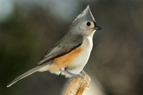 a guide to the tufted titmouse songbird
