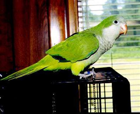 mildred patricia baena parakeets for sale