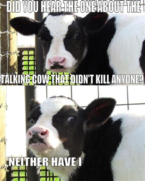 Funny Cow Memes - when a cow laughs does milk come out he by anonymous