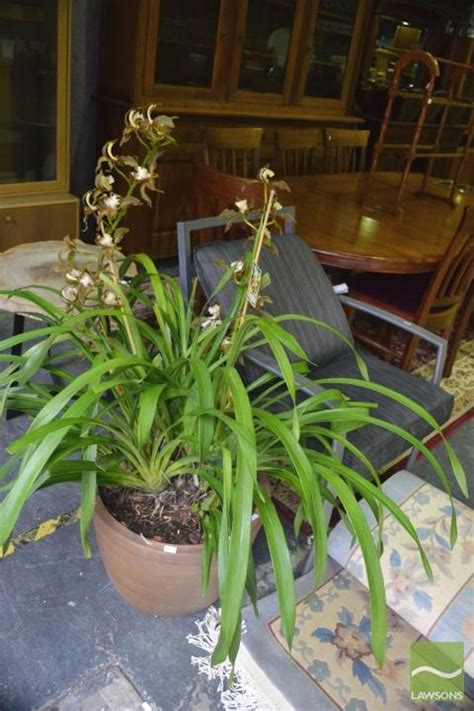 Orchid Planters Uk by Large Orchid In Planter