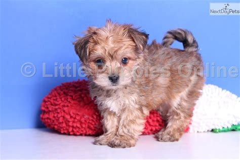 yorkie poo puppies for adoption yorkiepoo yorkie poo puppy for sale near st louis missouri pets world