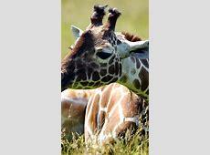 Wallpaper Giraffe, meadow, cute animals, funny, Animals #4545 Mac S Meadow