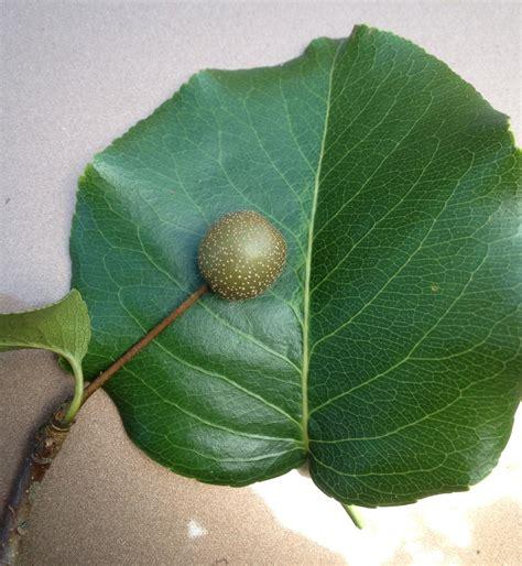 ornamental pear tree fruit callery pear fruit walter reeves the gardener