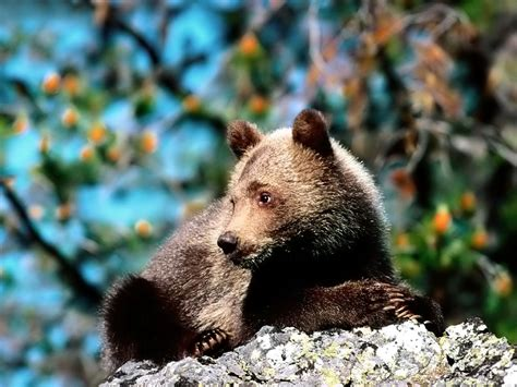 grizzly bear wallpaper wild big grizzly wallpapers