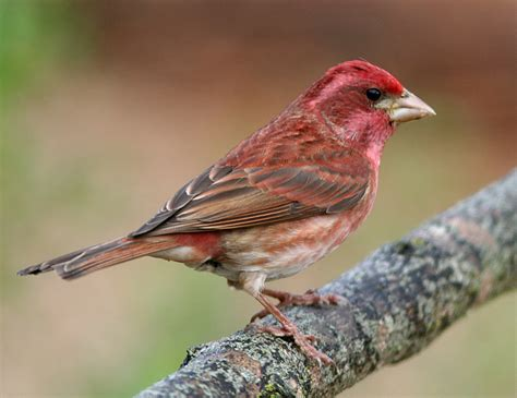 picture of house finch how to tell apart purple finches and house finches red