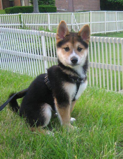 shiba inu puppies file shiba inu puppy black and yoshi jpg