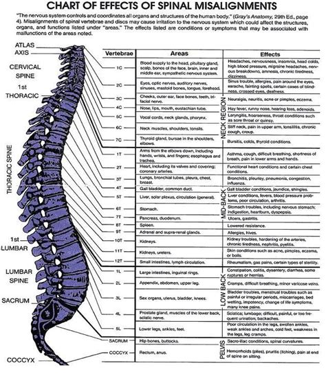 diagram of the spine and nerves pictures spinal vertebrae chart anatomy diagram charts