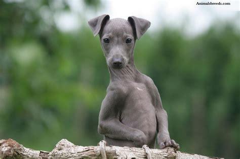 grey hound italian greyhound puppies rescue pictures information temperament