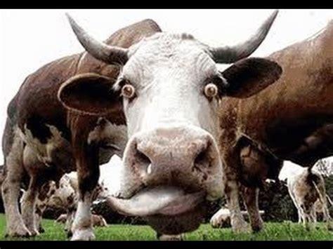 imagenes mamonas de vacas caidas golpes y vacas enojadas no te lo pierdas
