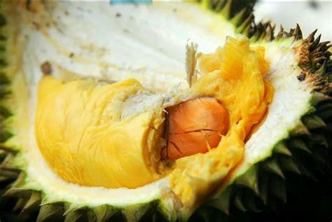 Jual Bibit Durian Tembaga gambar time durian tembaga antu aka durians gambar di