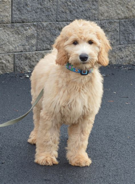 goldendoodle puppy colors goldendoodle colors 28 images will my reddish apricot