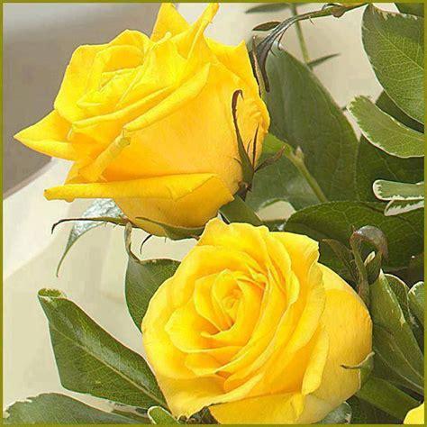 imagenes de flores amarillas 26 best images about rosas amarillas on pinterest colors