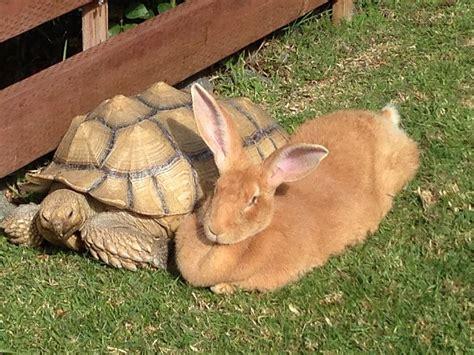 Rabbit L l rabbit ranch flemish rabbit flemish giants