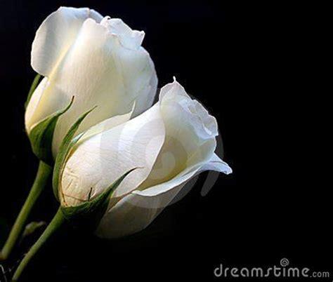 imagenes de rosas blancas hermosas imagui 17 best images about flores blancas on pinterest dibujo