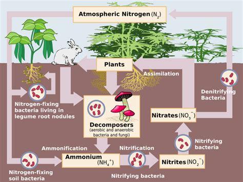 nitrogen fixing plants and trees