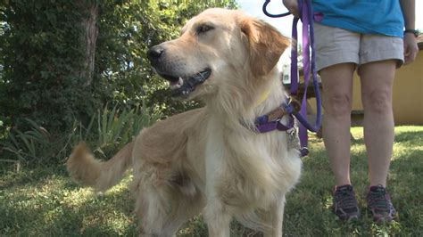 knoxville golden retriever rescue wbir rescue dogs from turkey named for dolly parton