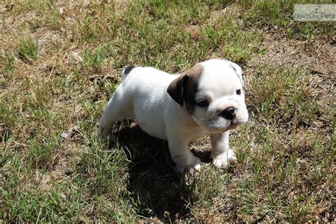 bulldog puppies for sale houston mini bulldog puppies for sale in houston tx