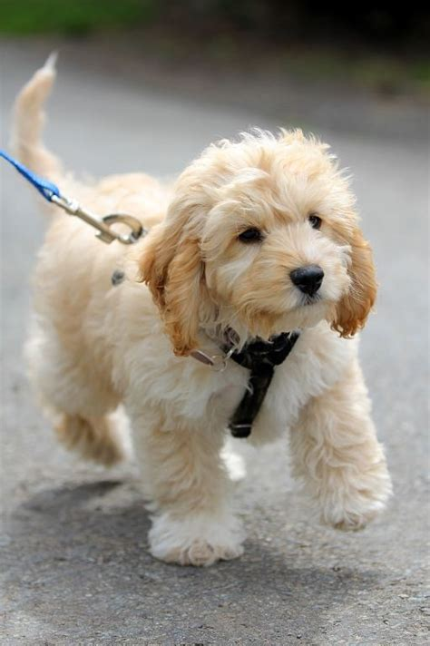 cockapoo dogs cockapoo puppies rescue pictures information temperament characteristics