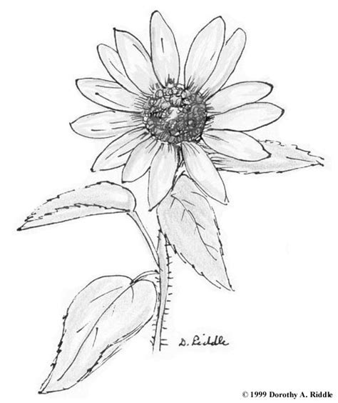 Wildflower Coloring Pages free coloring pages of wildflowers drawing