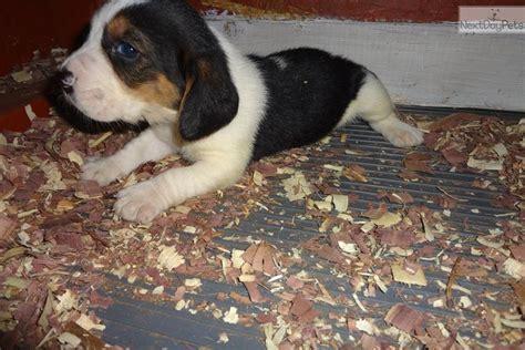 basset hound puppies for sale in iowa basset hound puppy for sale near des moines iowa b1676e51 a7b1