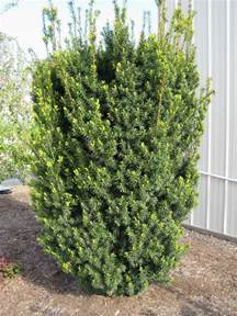 taxus x media hicksii hicks yew plants for hedging