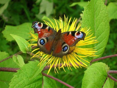 fiori farfalle come salvare le farfalle con fiori e piante ifioridimark