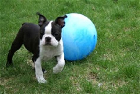 boston terrier puppies rescue well trained teacup maltese and puppies mount lebanon pa asnclassifieds